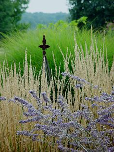 a gentle view....Perovskia atriplicifolia, Russian sage ,Calamagrostis x acutiflora 'Karl Foerster' - Feather Reed Grass and Miscanthus sinensis 'Adagio'