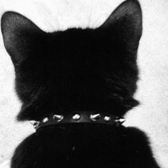 cat with spiked collar