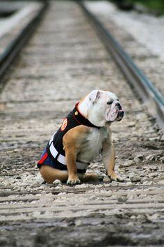 Marine Corp dress blues dog outfit...