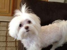 "Maltese with a puppy cut ""Bella"""