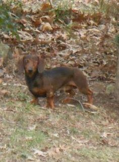 Alfie. Available for adoption with Furever Dachshund Rescue.