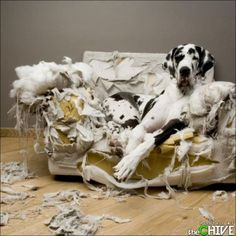 great danes, cat, funny dogs, dog training, pet, puppi, dog funnies, friend, big dogs