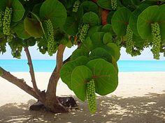 Seagrape trees, Antigua - pic.twitter.com/72IyduXUuG