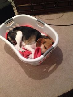 Just a beagle sleeping in a basket :)