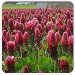 Organic Crimson Clover- cover crop