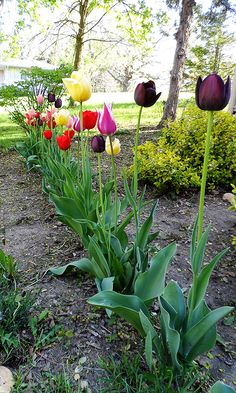 About Growing Tulips - Crafts by Amanda