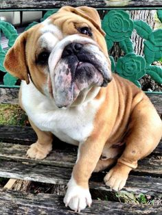 English Bulldog I get this look ALL the time!