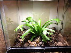 Terrestrial dart frog enclosure w/ bird nest fern.