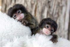 Tamarin Monkeys - Twin Babies