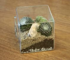 cobwebby semps in a glass box