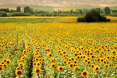 Sunflower Rows.  Looks like the South of France.  I can almost smell the lavender.