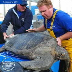 Hey, meet Bruce! He's a 250 pound green sea turtle that was brought to SeaWorld for life-saving medical treatments. #365DaysOfRescue