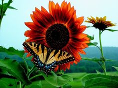 Butterflies are important pollinators too. This is a vibrant photo of a tiger swallowtail on a sunflower.