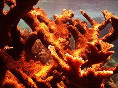 Aquatic Life Caribbean - elkhorn coral