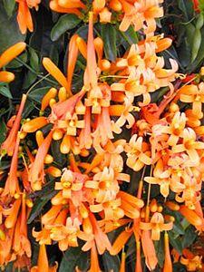 Flor de São João