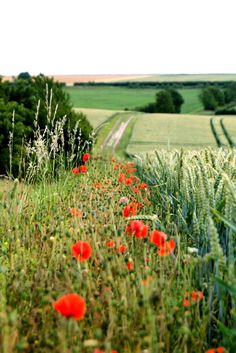 Wheat fields and poppies
