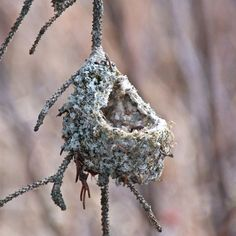 This interesting hummingbird nest uses spider webs.Photo © Anne Elliott