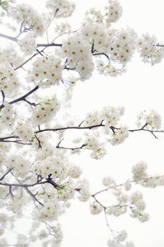 <3 white cherry blossoms