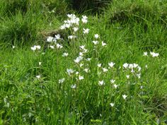 Charles Robinson has been out and about again, this time spotting meadow Saxifrage at Thorpe Pastures, Derbyshire.  14 May 2014