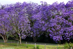Almost Springtime! Will soon be on the lookout for the first Jacaranda tree!