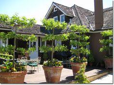 Espalier fruit trees in terra cotta pots.