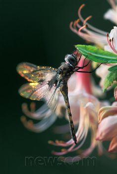 Dragonfly. Danita Delimont Photography/Newscom