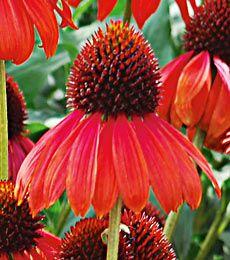 Echinacea firebird=Echinacea