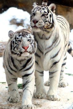 White Tigers! #provestra