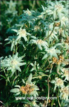 Edelweiss Garden