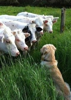 Who are you? #Golden #Retriever #dog