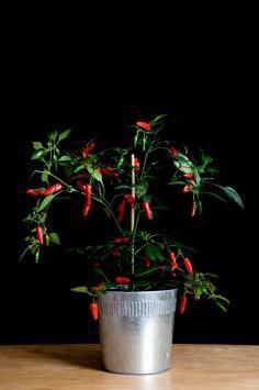 Indoor Vegetable Container Gardening
