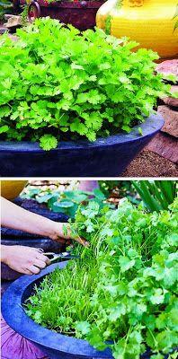 Continuous cilantro growing method