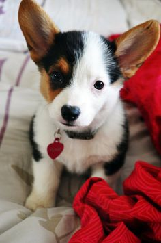 anim, heart, little puppies, cutest dogs, colors, pet, corgi puppies, pembroke welsh corgi, ears