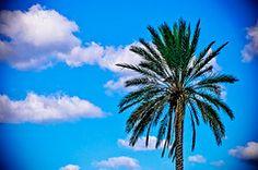 Palm Tree - Desktop Image or Screen Saver