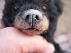 Joanne Livingston's method of covering a needle felted bear nose with Apoxie Sculpt