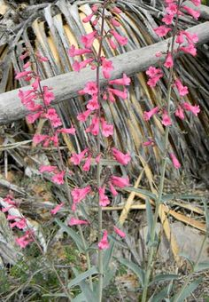 Pentemon parry flowers in bloom at peppersauce canyon pinal co
