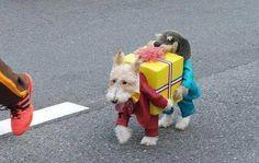 anim, dog dresses, cutest dogs, funni, dress up, dog costumes, pet costumes, small dog, halloween