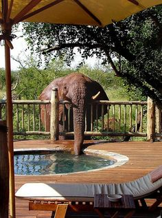"""Africa   An elephant nicknamed Troublesome is snapped taking a drink from the pool at Etali Safari Lodge, South Africa. Susan Potgieter, owner of the lodge, said: """"When I first saw the photograph of her drinking I couldn't believe it. It was something of a relief because we had been trying to work out why the pool had been draining so quickly for weeks but couldn't find a leak anywhere"""" water, elephants, anim, pet, south africa, backyard, hot tubs, drinks, pools"""