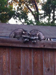 Raccoons!!