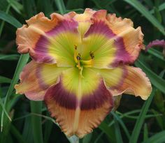 """Seedling 226-6 (Search for Green Pastures x Cosmic Kaleidoscope) – """"This was a big flower with large green throat."""" from Pinewood Gardens"""