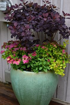 One can never have enough smoke bushes; nice contrast in pots