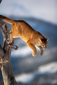 Mountain lion.