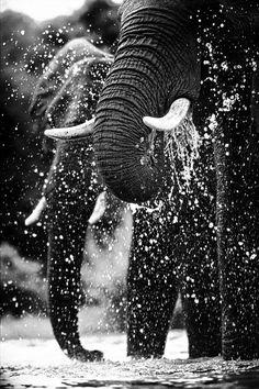 Elephant <3<3<3 - http://www.bite-dose.com/black-and-white-animal-photography/