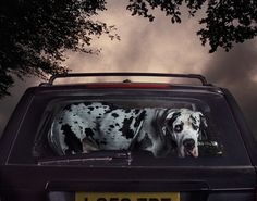 """From the photography series """"Mute: the silence of dogs left in cars"""" by Martin Usborne"""