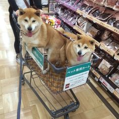 Now that's a shiba cart !!!