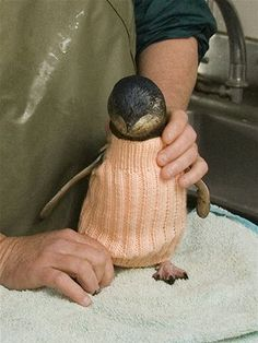 Oiled penguin in a knitted wool jumper