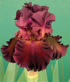 Red Hawk | Tall Bearded iris