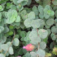 Dittany of Crete, a cousin in the Oregano family, is a rare and beautiful medicinal herb. Thought to be a symbol of love because of its beauty and aroma, lovers used to scale dangerous cliff sides to retrieve this lovely herb!