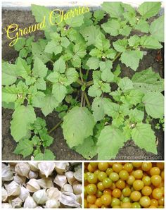 How-to grow and use Ground Cherries