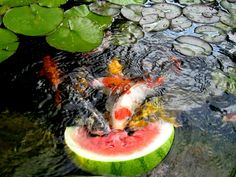 Koi treat..fish eating watermelon...